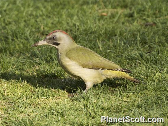 Iberian Green Woodpecker (Picus sharpei)