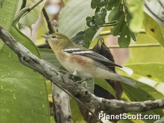 Bay-breasted Warbler (Setophaga castanea)