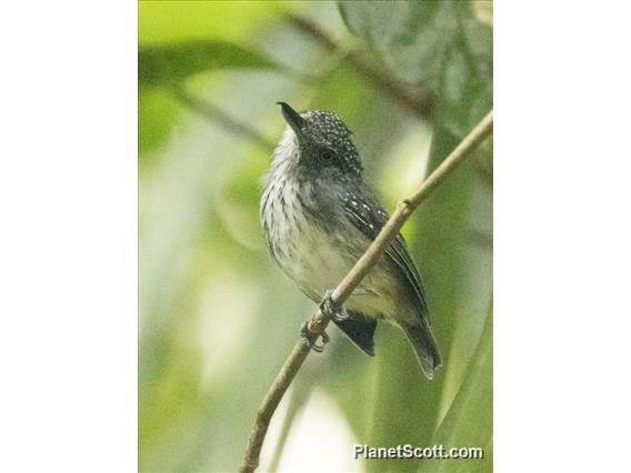 Spot-crowned Antvireo (Dysithamnus puncticeps)