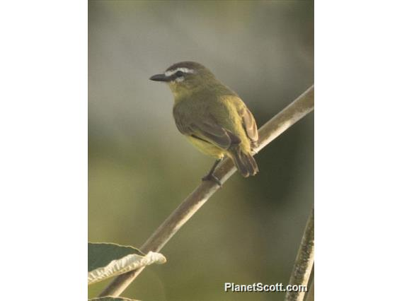 Brown-capped Tyrannulet (Ornithion brunneicapillus)