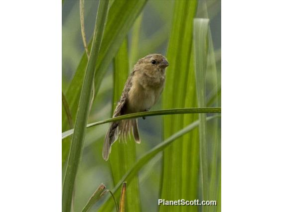 Ruddy-breasted Seedeater (Sporophila minuta)