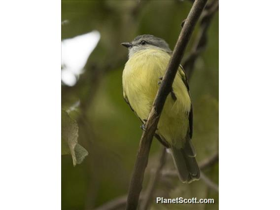 Yellow-crowned Tyrannulet (Tyrannulus elatus)