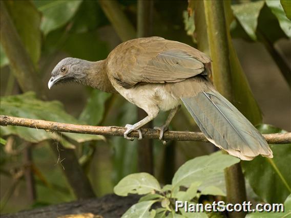 Gray-headed Chachalaca (Ortalis cinereiceps)