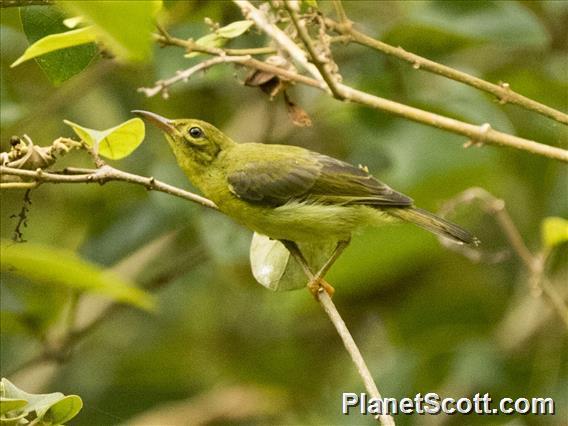 Plain-throated Sunbird (Anthreptes malacensis)