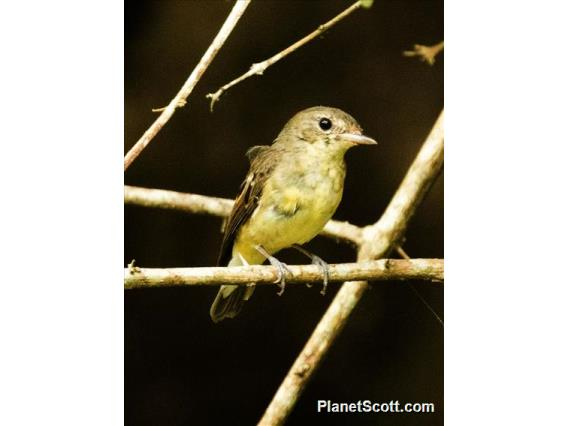 Brown-chested Jungle-Flycatcher ( Cyornis brunneatus)