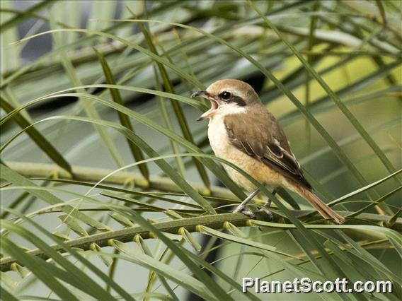 Brown Shrike (Lanius cristatus)