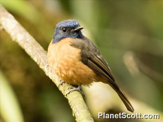 Blue-fronted Flycatcher (Cyornis hoevelli) - Male