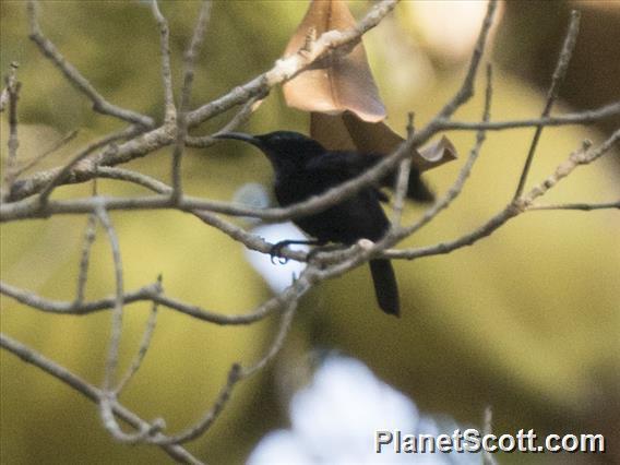Black Sunbird (Leptocoma aspasia)