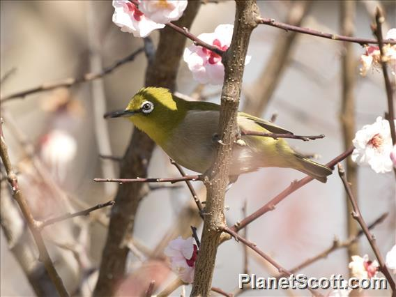 Warbling White-eye (Zosterops japonicus)