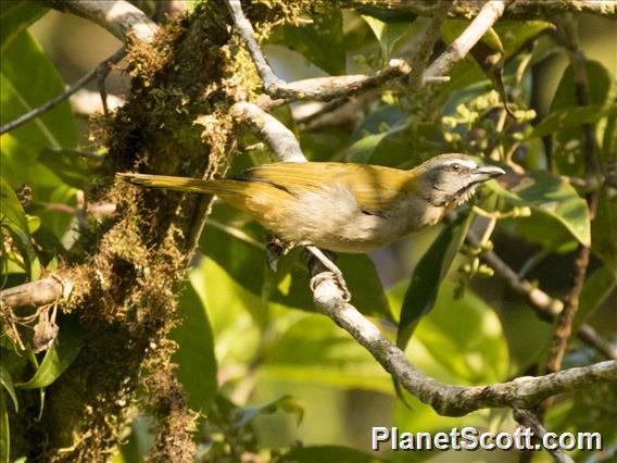 Buff-throated Saltator (Saltator maximus)