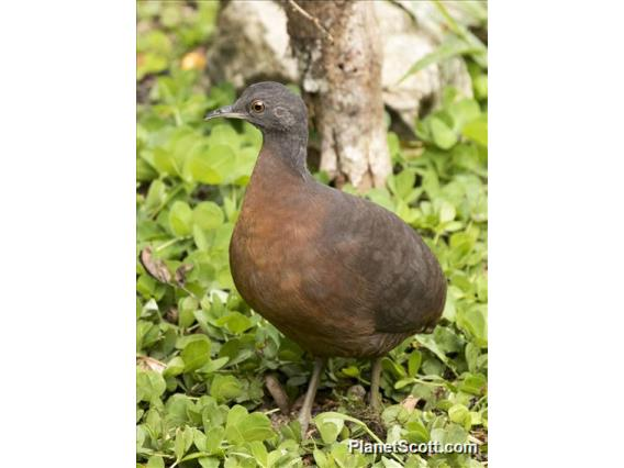 Brown Tinamou (Crypturellus obsoletus)