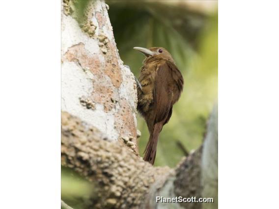 Cinnamon-throated Woodcreeper (Dendrexetastes rufigula)
