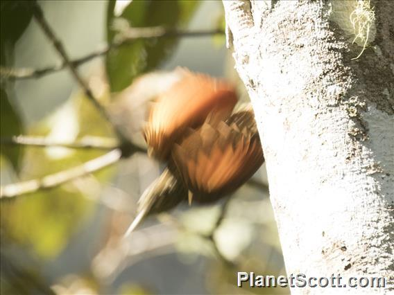 Olive-backed Woodcreeper (Xiphorhynchus triangularis)