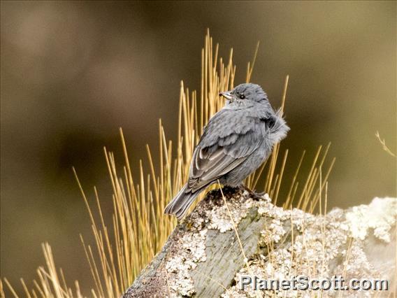 Plumbeous Sierra-Finch (Geospizopsis unicolor)
