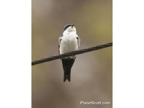 Blue-and-white Swallow (Pygochelidon cyanoleuca)