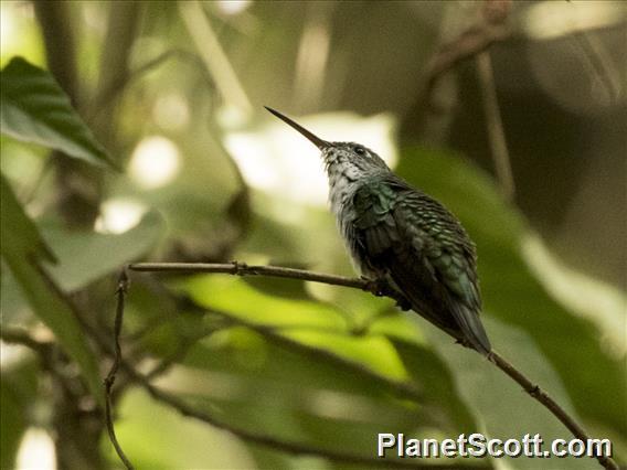 Green-and-white Hummingbird (Amazilia viridicauda)