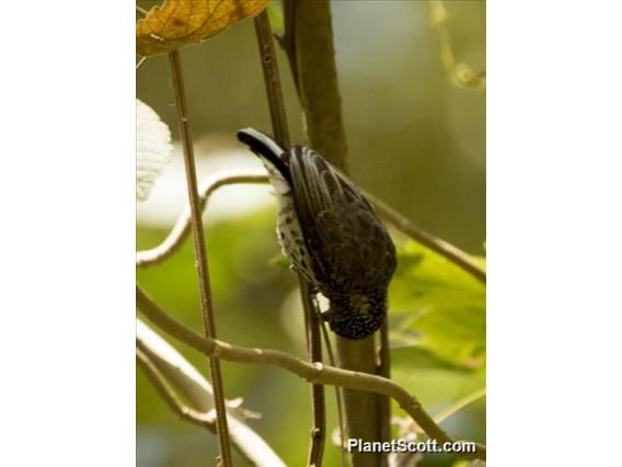 Ocellated Piculet (Picumnus dorbignyanus)