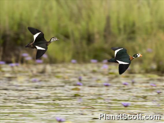 African Pygmy-goose (Nettapus auritus)