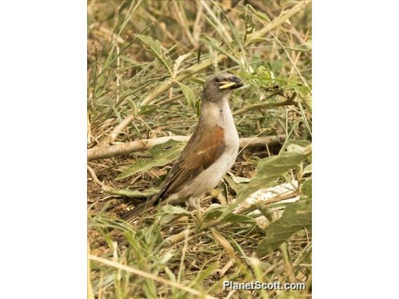 Northern Gray-headed Sparrow (Passer griseus)