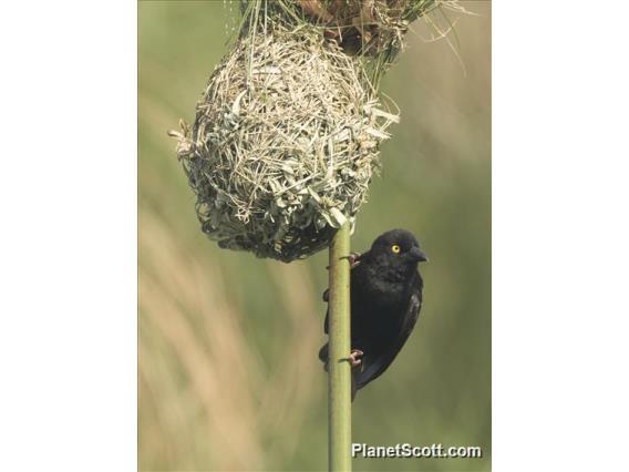 Vieillot's Weaver (Ploceus nigerrimus)