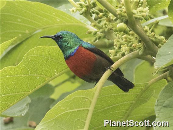Northern Double-collared Sunbird (Cinnyris reichenowi)