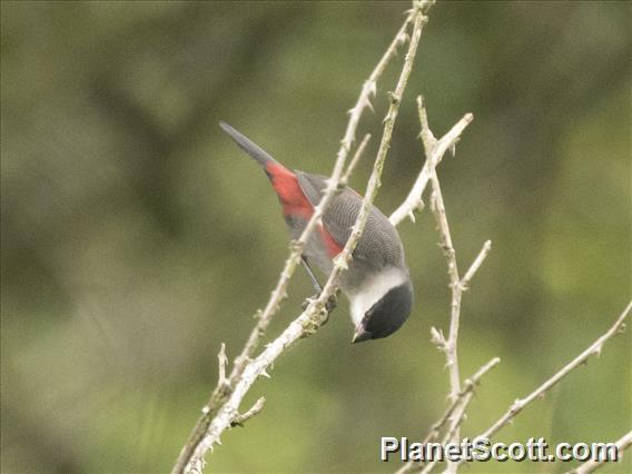 Black-headed Waxbill (Estrilda atricapilla)