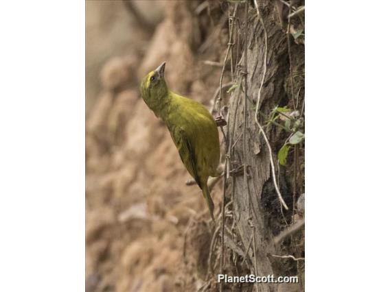 Western Citril (Crithagra frontalis)