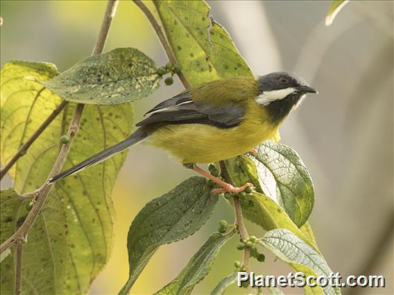 Black-throated Apalis (Apalis jacksoni)