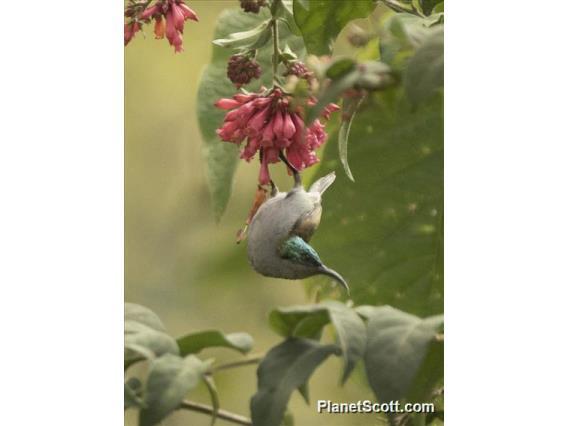 Green-headed Sunbird (Cyanomitra verticalis)