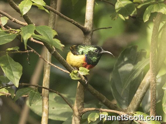 Regal Sunbird (Cinnyris regius)