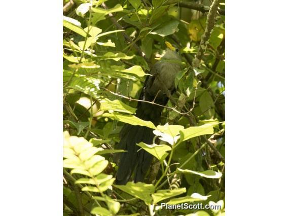 Blue Malkoha (Ceuthmochares aereus)