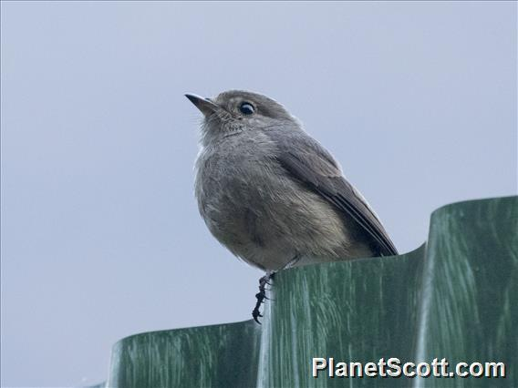 Cassin's Flycatcher (Muscicapa cassini)