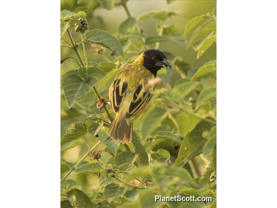 Black-headed Weaver (Ploceus melanocephalus)