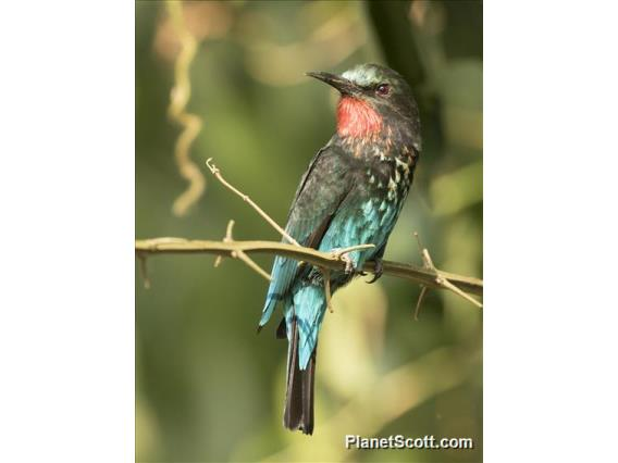 Black Bee-eater (Merops gularis)