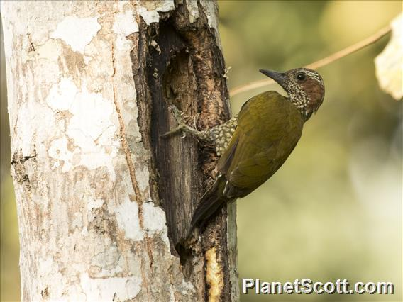 Brown-eared Woodpecker (Campethera caroli)