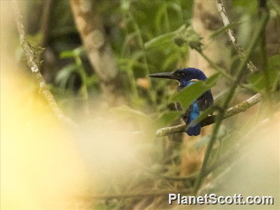 Shining-blue Kingfisher (Alcedo quadribrachys)