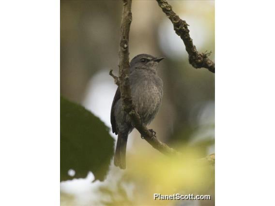 Ashy Flycatcher (Fraseria caerulescens)