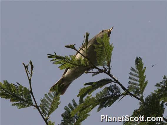 Eastern Olivaceous Warbler (Iduna pallida)