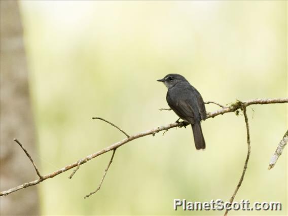 Dusky-blue Flycatcher (Bradornis comitatus)