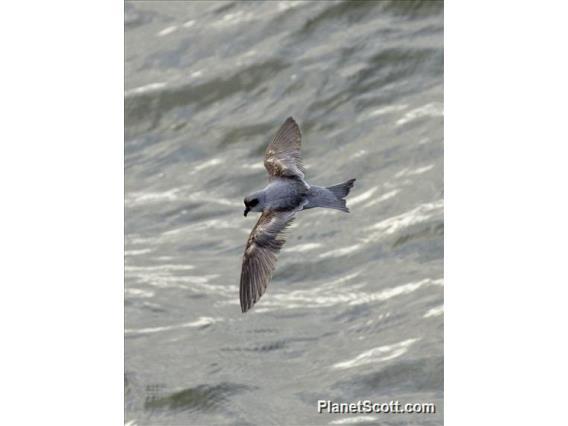 Fork-tailed Storm-Petrel (Oceanodroma furcata)