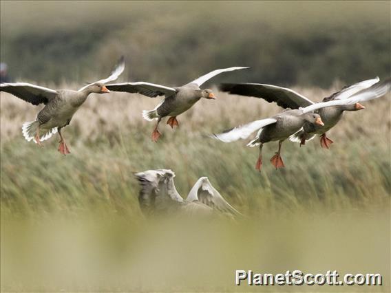 Graylag Goose (Anser anser)