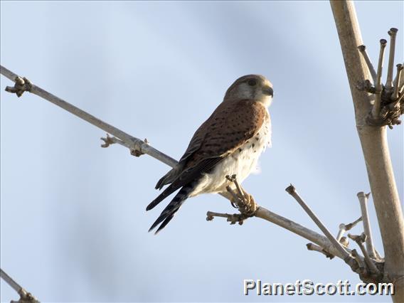 Madagascar Kestrel (Falco newtoni)