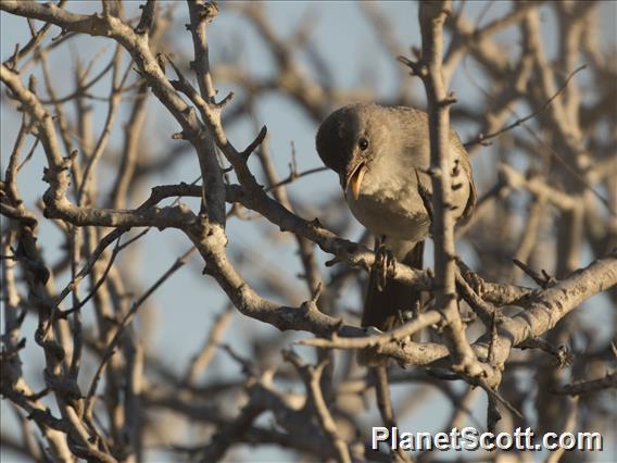 Subdesert Brush-Warbler (Nesillas lantzii)