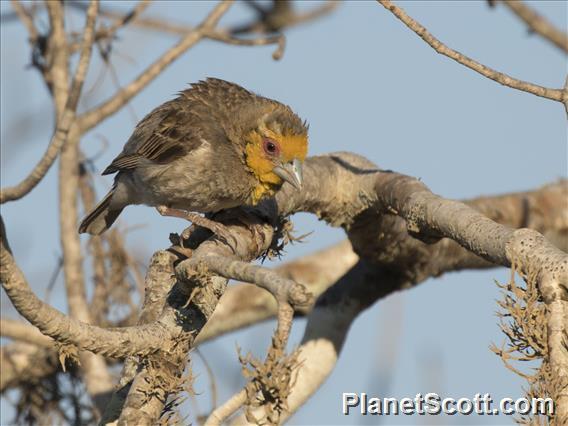 Sakalava Weaver (Ploceus sakalava)