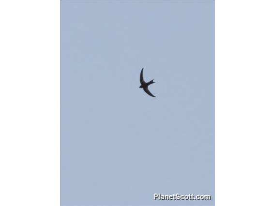 Madagascar Swift (Apus balstoni)