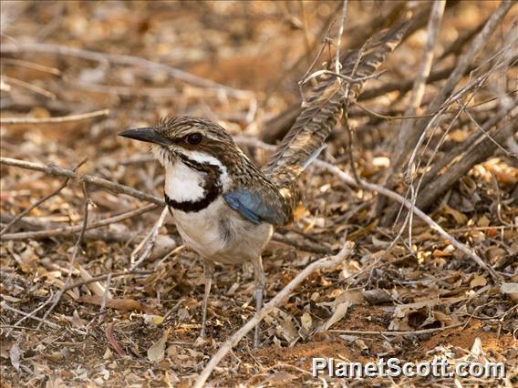 Long-tailed Ground-Roller (Uratelornis chimaera)