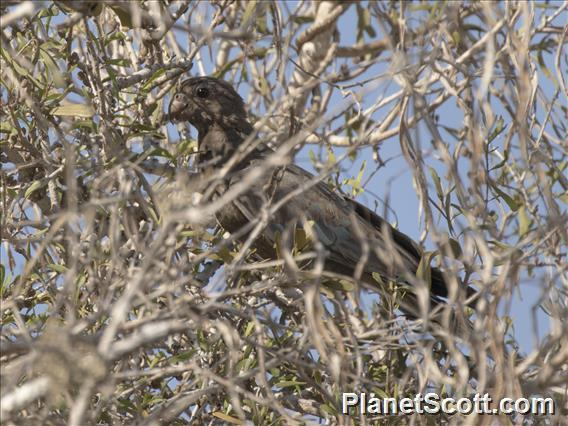 Lesser Vasa-Parrot (Coracopsis nigra)