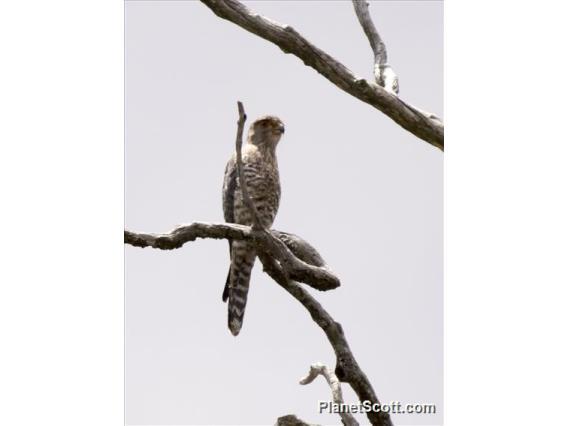Banded Kestrel (Falco zoniventris)