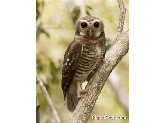 White-browed Owl (Athene superciliaris)