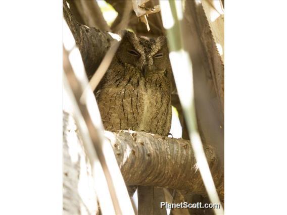 Torotoroka Scops-Owl (Otus madagascariensis)